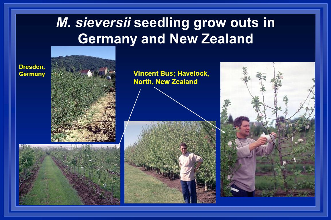 M. sieversii seedling grow outs in Germany and New Zealand Dresden, Germany Vincent Bus; Havelock, North, New Zealand