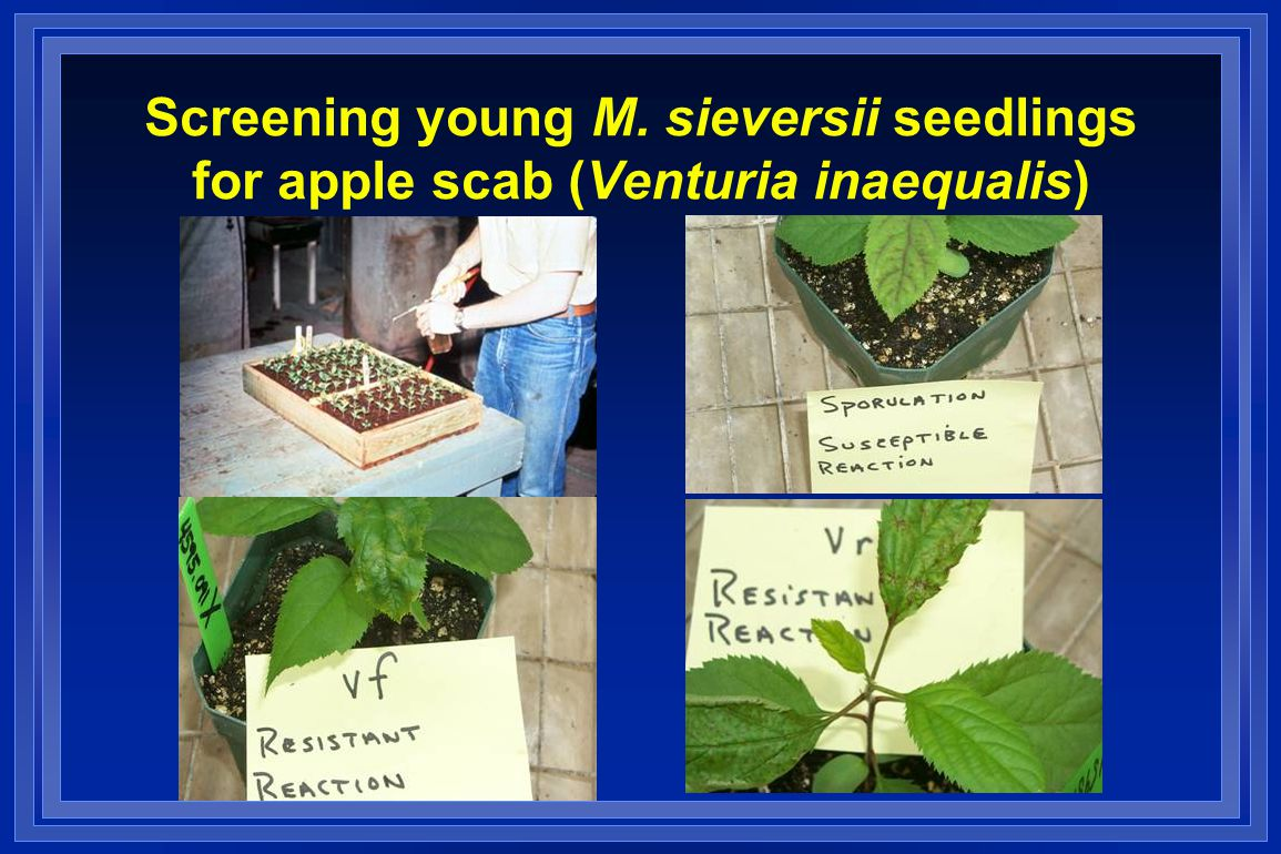 Screening young M. sieversii seedlings for apple scab (Venturia inaequalis)