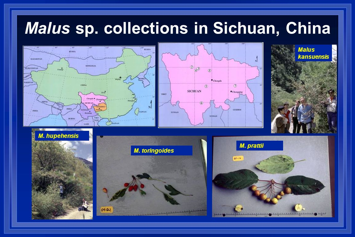 Malus sp. collections in Sichuan, China M. hupehensis M. toringoides M. prattii Malus kansuensis