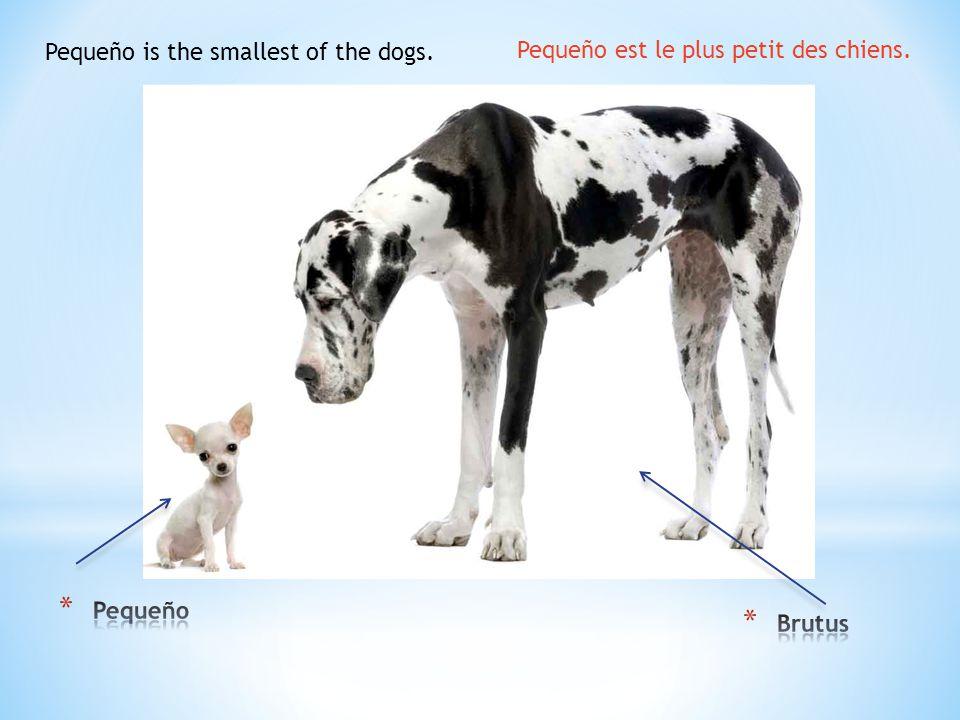 Pequeño is the smallest of the dogs. Pequeño est le plus petit des chiens.