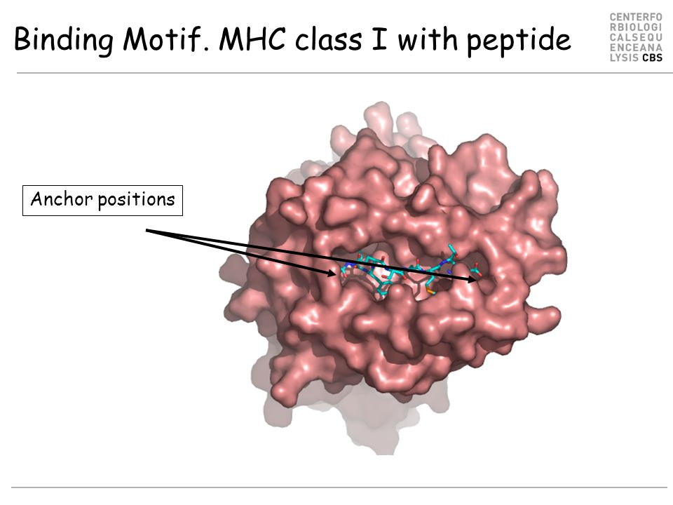 Anchor positions Binding Motif. MHC class I with peptide