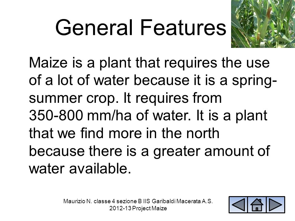 Maize is a plant that can become 3 metres high.