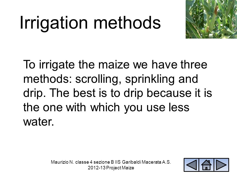 Irrigation methods To irrigate the maize we have three methods: scrolling, sprinkling and drip. The best is to drip because it is the one with which y