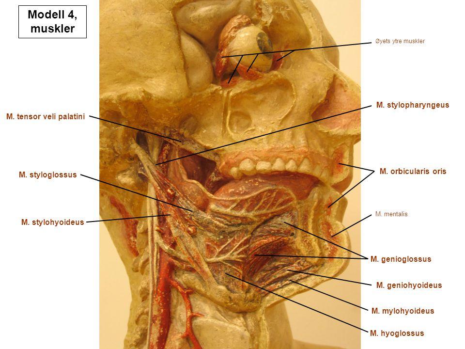 M. tensor veli palatini M. styloglossus M. stylohyoideus M. hyoglossus M. mentalis M. mylohyoideus M. geniohyoideus M. genioglossus M. orbicularis ori