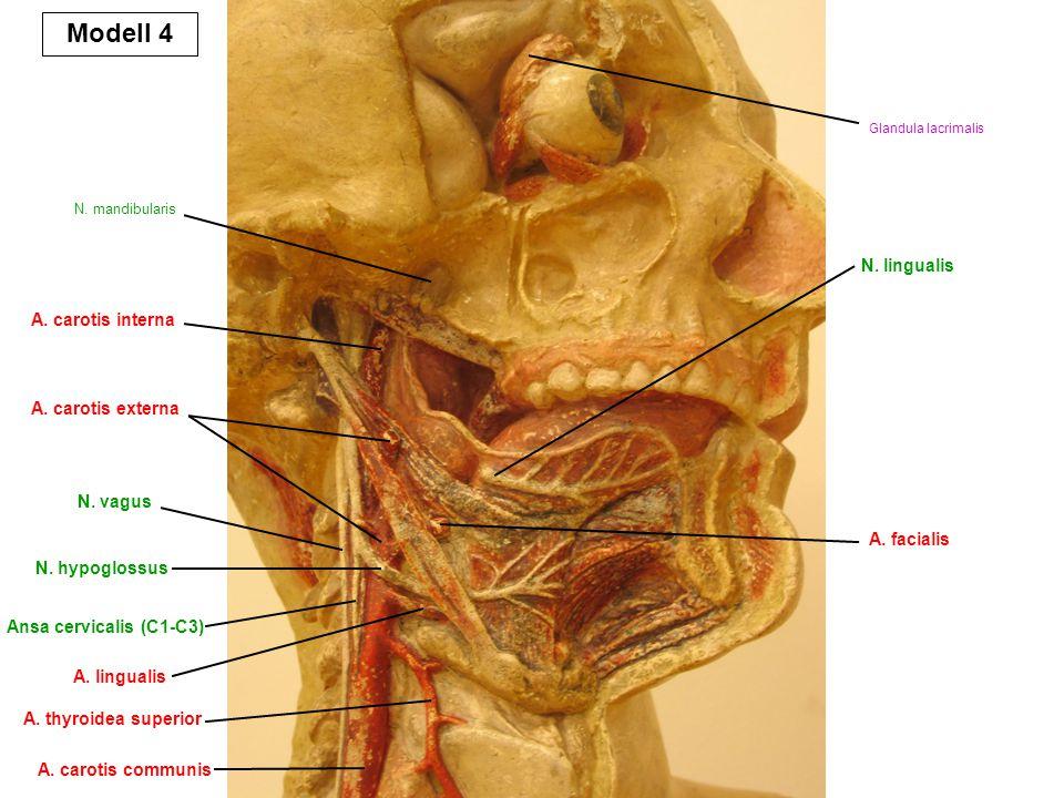 N. mandibularis A. carotis interna A. carotis communis A. thyroidea superior A. carotis externa A. lingualis N. vagus N. hypoglossus N. lingualis A. f