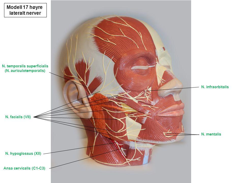 Nn.temporales profundi N. pterygoideus lateralis N.
