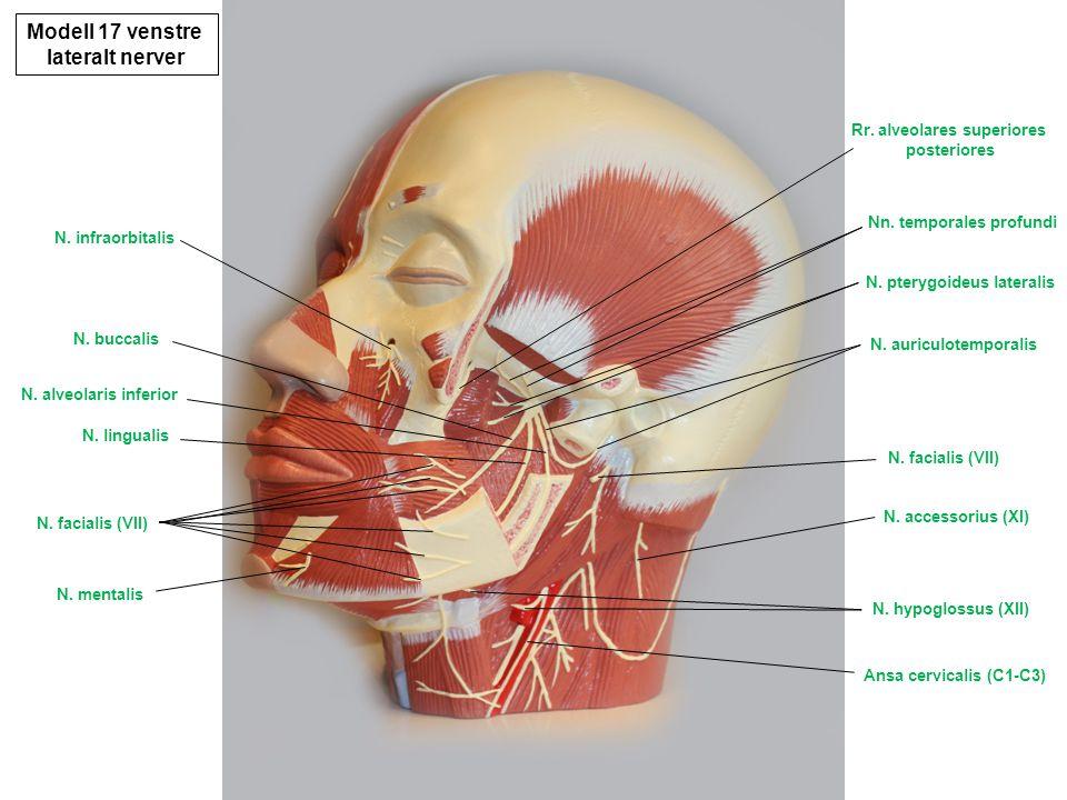 Modell 17 litt underifra diverse N.mentalis N. infraorbitalis N.