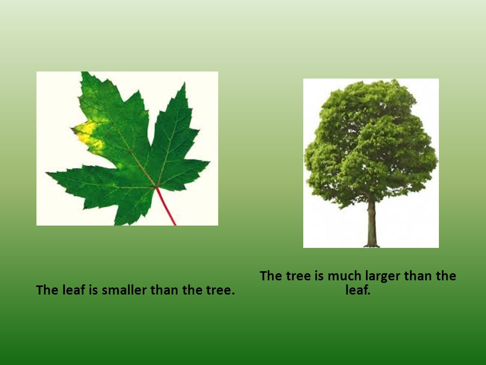The leaf is smaller than the tree. The tree is much larger than the leaf.