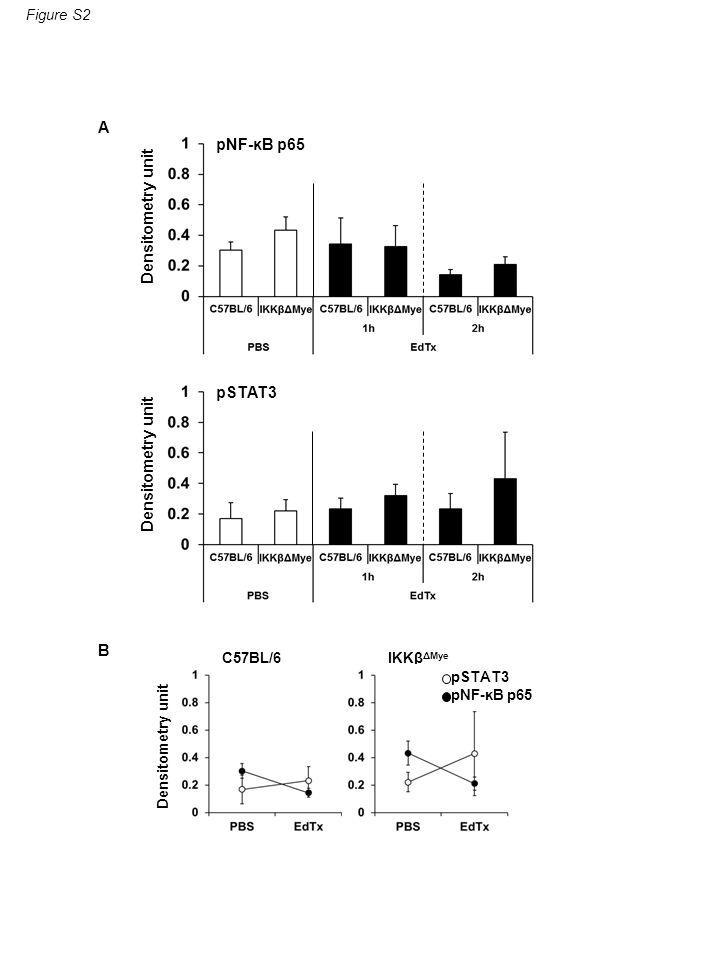 A B Densitometry unit pNF-ĸB p65 pSTAT3 Figure S2 IKKβ ΔMye C57BL/6 Densitometry unit pSTAT3 pNF-ĸB p65