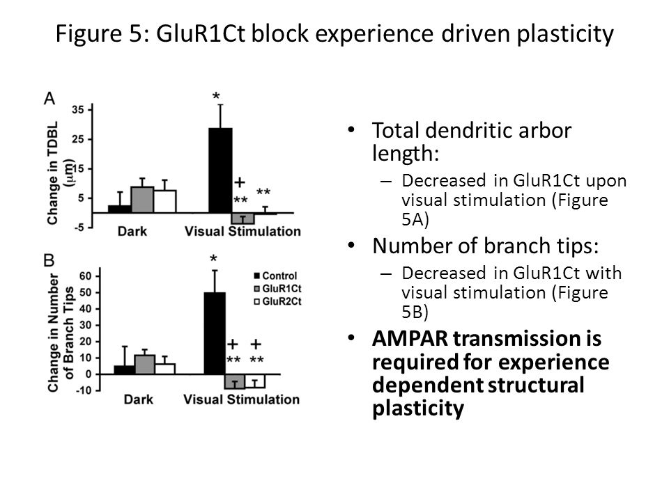 Figure 5: GluR1Ct block experience driven plasticity Total dendritic arbor length: – Decreased in GluR1Ct upon visual stimulation (Figure 5A) Number of branch tips: – Decreased in GluR1Ct with visual stimulation (Figure 5B) AMPAR transmission is required for experience dependent structural plasticity