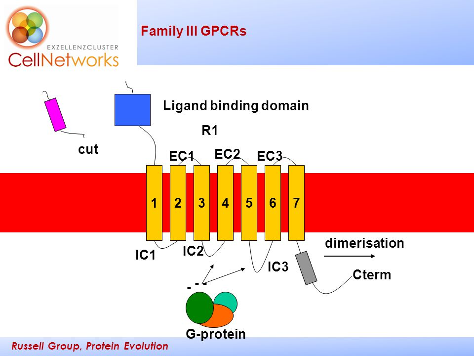 Russell Group, Protein Evolution _________ ____ Family III GPCRs 1234567 R1 Ligand binding domain IC1 IC2 IC3 Cterm EC1 EC2 EC3 - - - G-protein dimeri