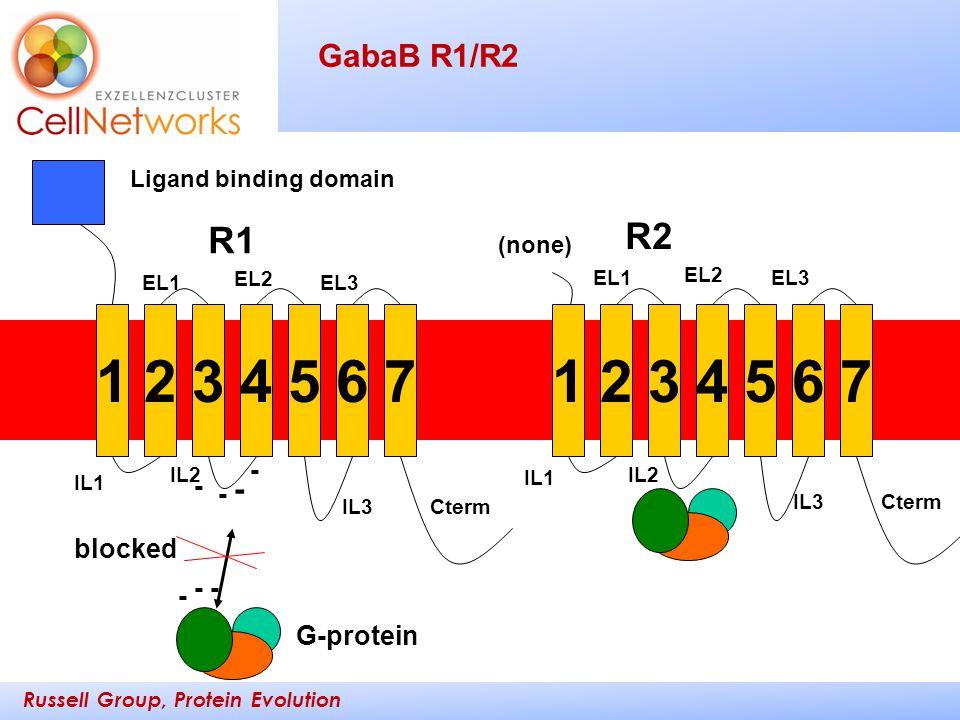 Russell Group, Protein Evolution _________ ____ GabaB R1/R2 12345671234567 R1 R2 Ligand binding domain IL1 IL2 IL3Cterm EL1 EL2 EL3 IL1 IL2 IL3Cterm E