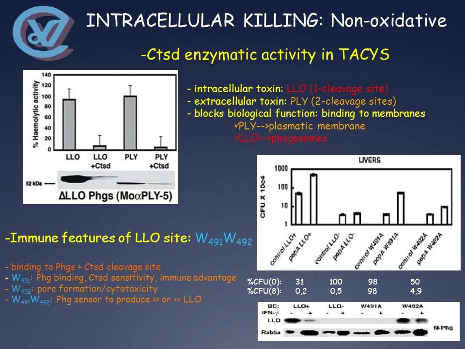 -Ctsd enzymatic activity in TACYS - intracellular toxin: LLO (1-cleavage site) - extracellular toxin: PLY (2-cleavage sites) - blocks biological function: binding to membranes PLY-->plasmatic membrane LLO-->phagosomes %CFU(0): 31 100 98 50 %CFU(8): 0,2 0,5 98 4,9 -Immune features of LLO site: W 491 W 492 - binding to Phgs + Ctsd cleavage site - W 491 : Phg binding, Ctsd sensitivity, immune advantage - W 492 : pore formation/cytotoxicity - W 491 W 492 : Phg sensor to produce >> or << LLO