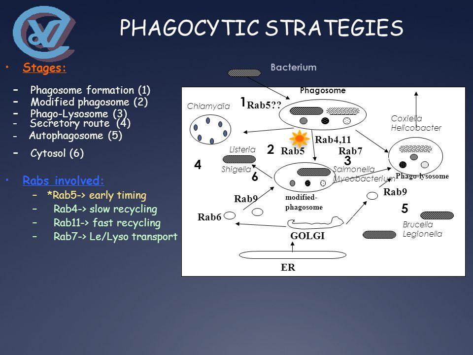 Bacterium Rab5 Phagosome Rab4,11 Rab5 .