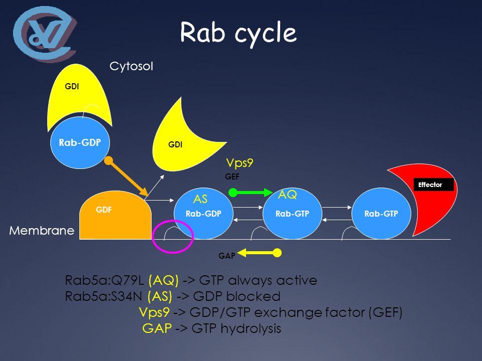 Rab-GDP GDI GDF Rab-GDPRab-GTP GEF Rab-GTP Effector Cytosol Membrane GAP Vps9 AS AQ Rab5a:Q79L (AQ) -> GTP always active Rab5a:S34N (AS) -> GDP blocked Vps9 -> GDP/GTP exchange factor (GEF) GAP -> GTP hydrolysis Rab cycle