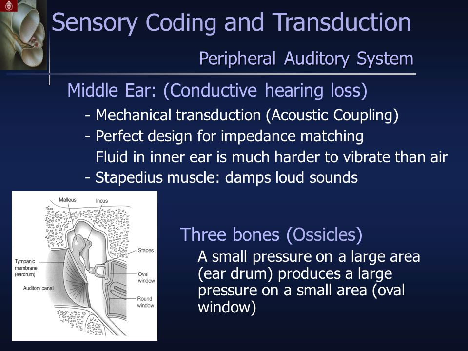 Middle Ear: (Conductive hearing loss) - Mechanical transduction (Acoustic Coupling) - Perfect design for impedance matching Fluid in inner ear is much harder to vibrate than air - Stapedius muscle: damps loud sounds Three bones (Ossicles) A small pressure on a large area (ear drum) produces a large pressure on a small area (oval window) Peripheral Auditory System Sensory Coding and Transduction