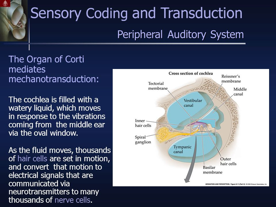 The Organ of Corti mediates mechanotransduction: Peripheral Auditory System Sensory Coding and Transduction The cochlea is filled with a watery liquid, which moves in response to the vibrations coming from the middle ear via the oval window.