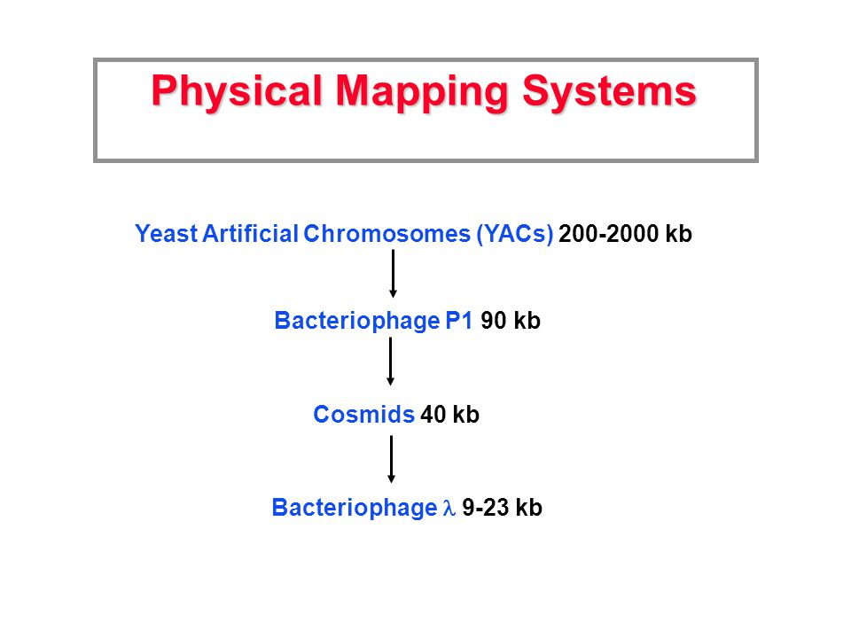 Physical Mapping Systems Yeast Artificial Chromosomes (YACs) 200-2000 kb Bacteriophage P1 90 kb Cosmids 40 kb Bacteriophage 9-23 kb