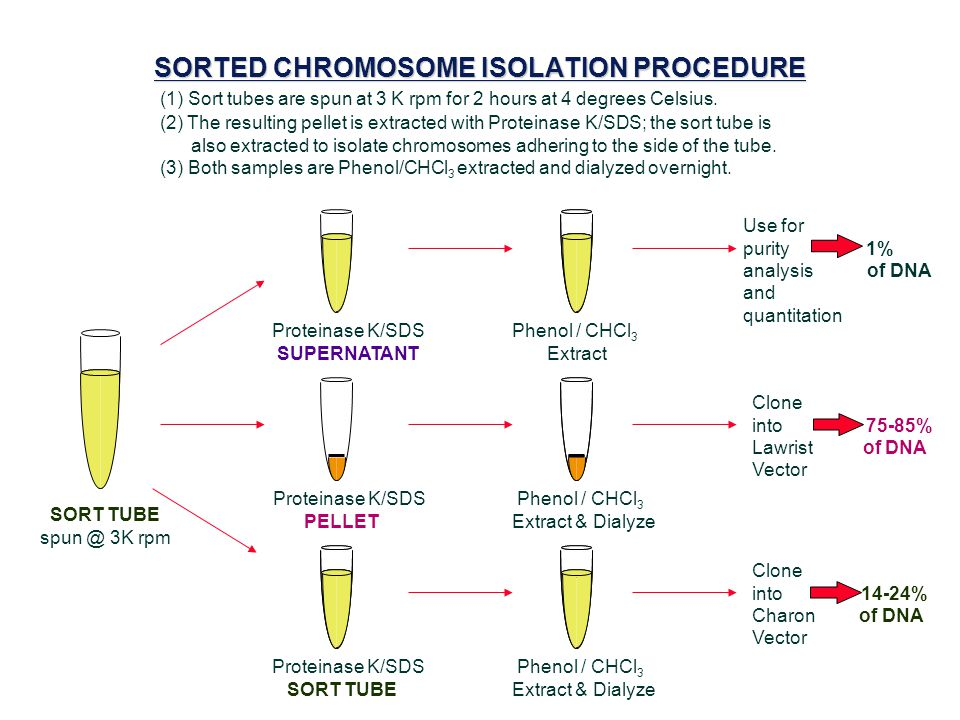 SORTED CHROMOSOME ISOLATION PROCEDURE (1) Sort tubes are spun at 3 K rpm for 2 hours at 4 degrees Celsius.