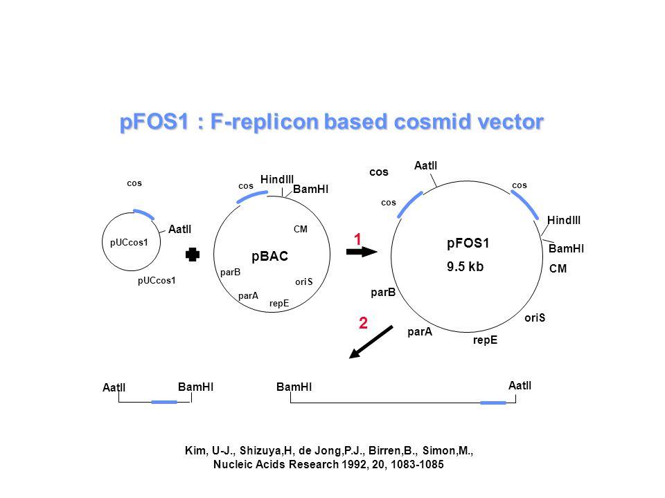 pFOS1 : F-replicon based cosmid vector pUCcos1 1 2 AatII pUCcos1 pBAC cos parB parA repE oriS CM BamHI HindIII cos parB parA repE oriS CM BamHI HindIII cos pFOS1 9.5 kb AatII BamHI Kim, U-J., Shizuya,H, de Jong,P.J., Birren,B., Simon,M., Nucleic Acids Research 1992, 20, 1083-1085