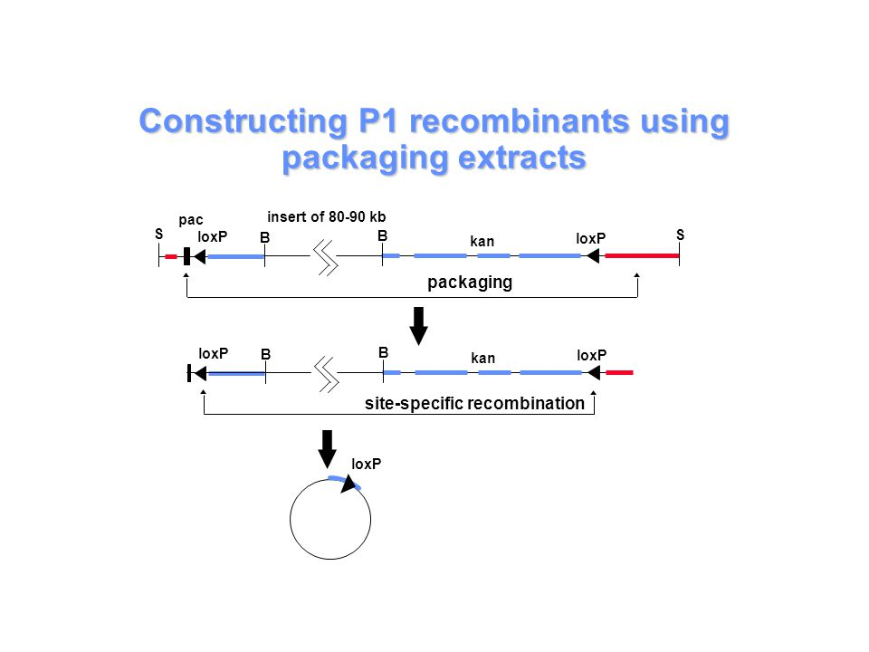 Constructing P1 recombinants using packaging extracts S pac kan loxP B S B packaging loxP B kan loxP B insert of 80-90 kb site-specific recombination loxP