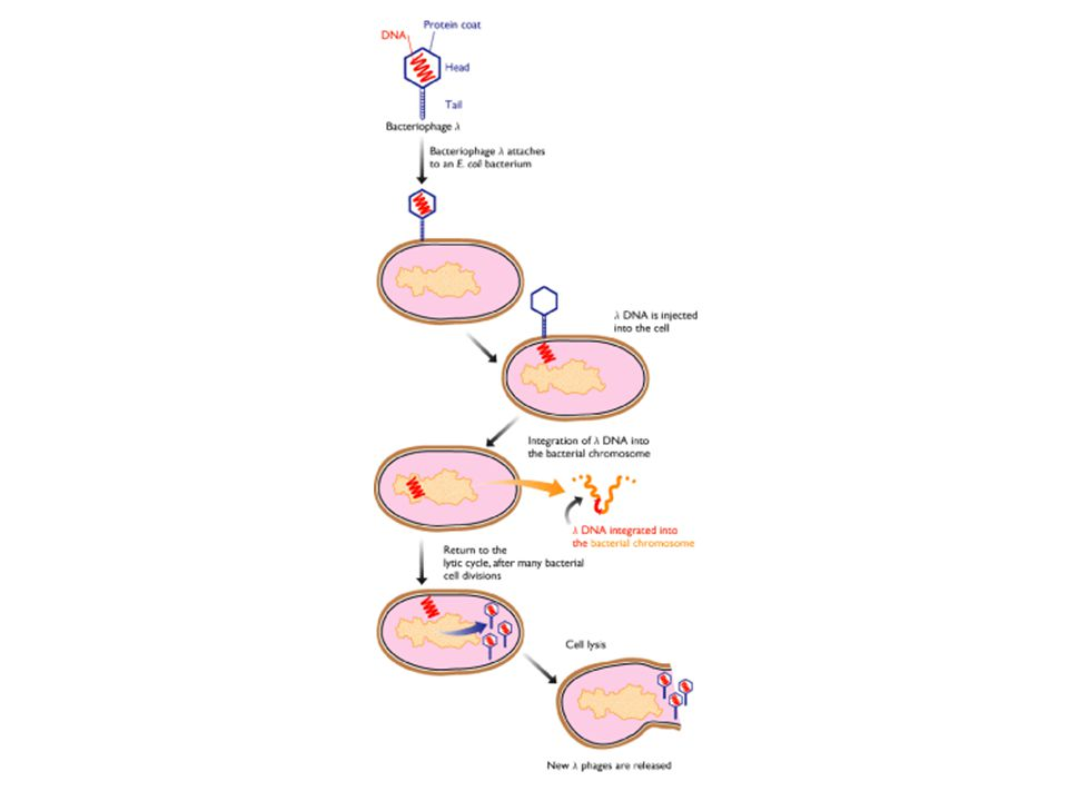 P1 vector for the construction of recombinants by electroporation pAD10SacBII (30kb) plasmid replicon pac loxP kan P1 lytic replicon sacB B S loxP P pac loxP sacB B S loxP B B B S S pUC19-link S loxP plasmid replicon kan P1 lytic replicon sacB pUC19-link BS B S pCYPAC1 (19.3 kb) 1 2 1.