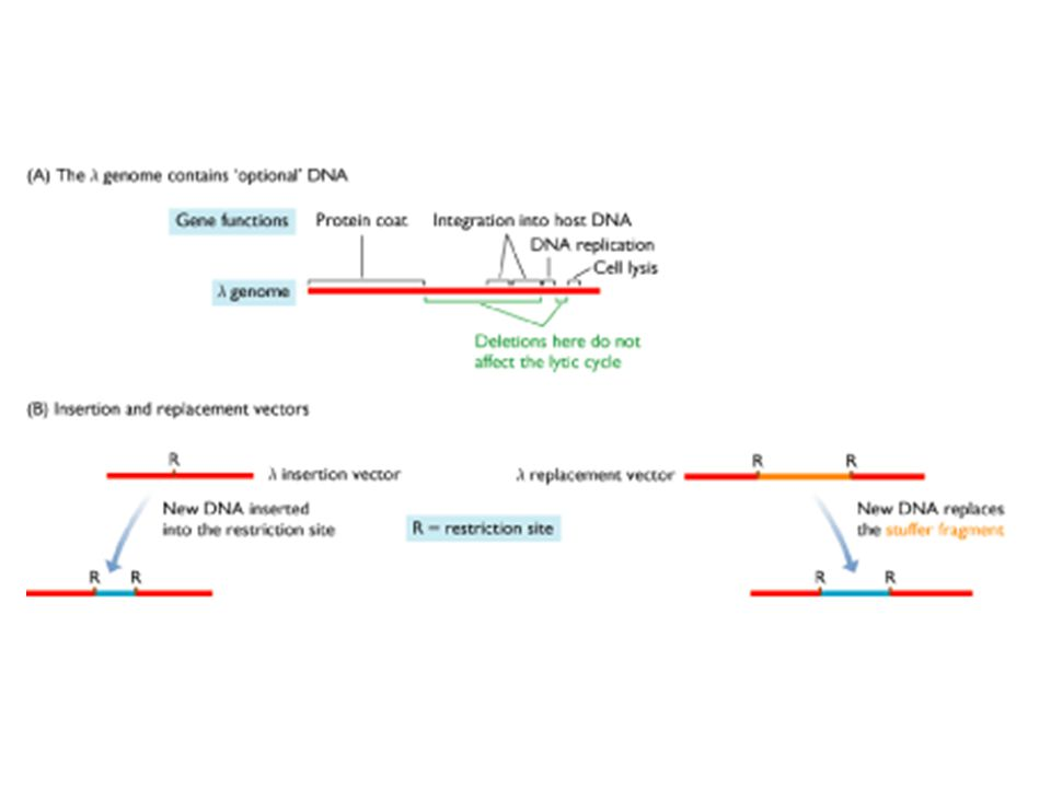 Comparison of BACs & PACs 2)Both systems replicate clones faithfully across 60-100 generations.