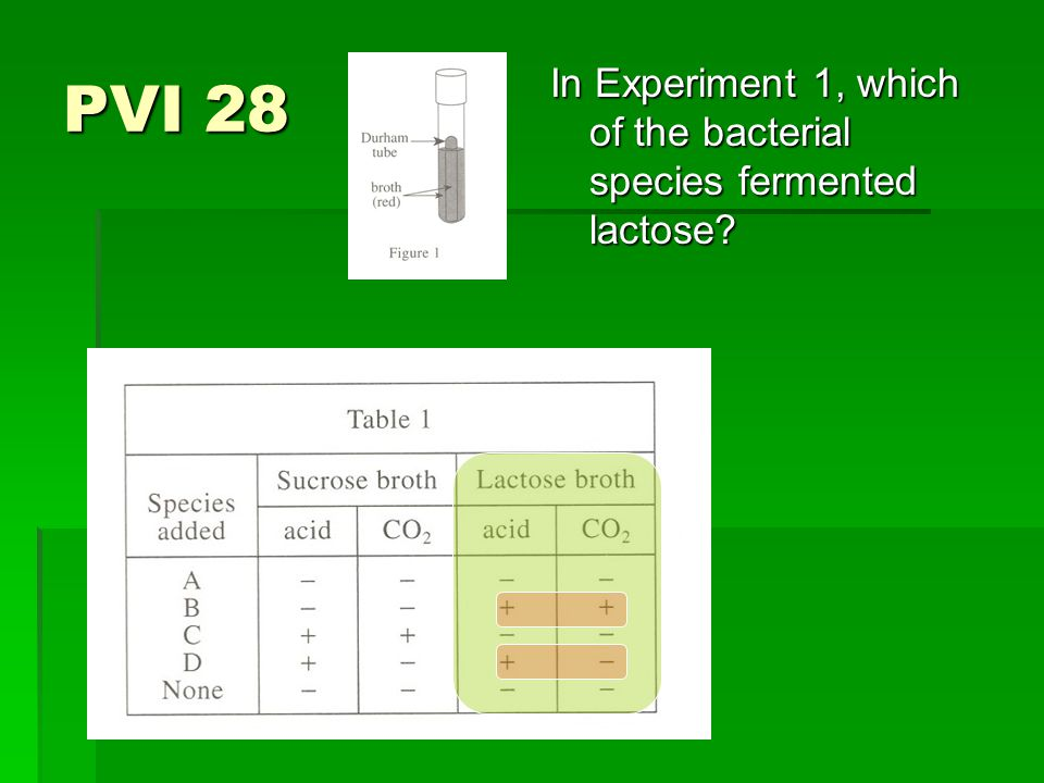 PVI 28 In Experiment 1, which of the bacterial species fermented lactose?