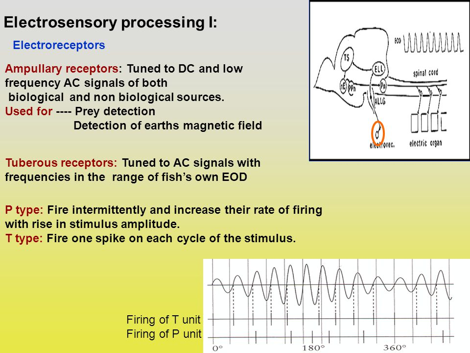 Electrosensory processing I: Electroreceptors Ampullary receptors: Tuned to DC and low frequency AC signals of both biological and non biological sources.