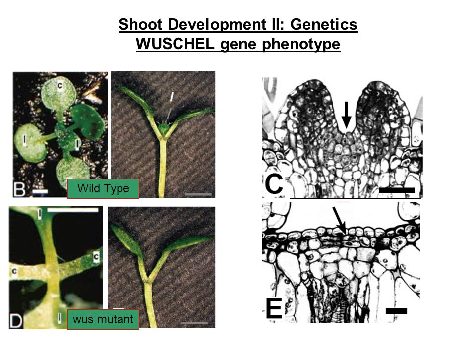 Shoot Development II: Genetics WUSCHEL gene phenotype Wild Type wus mutant Wild type SAM wus SAM