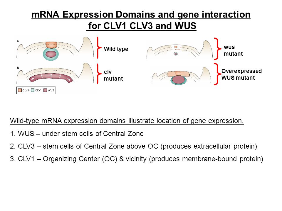 mRNA Expression Domains and gene interaction for CLV1 CLV3 and WUS clv mutant Wild type Wild-type mRNA expression domains illustrate location of gene expression.