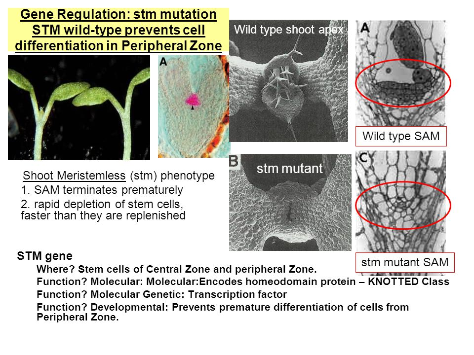 Gene Regulation: stm mutation STM wild-type prevents cell differentiation in Peripheral Zone STM gene Where.