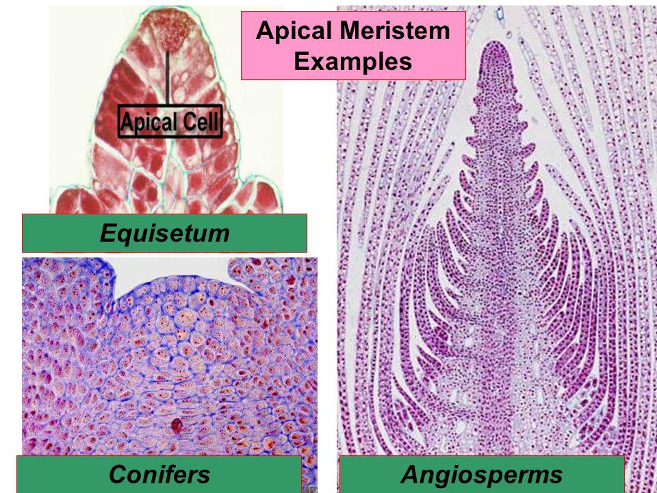 Apical Meristem Examples Equisetum ConifersAngiosperms