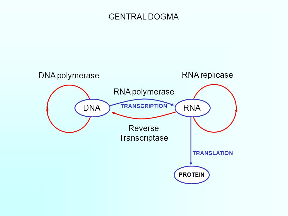CENTRAL DOGMA DNARNA PROTEIN DNA polymerase RNA polymerase Reverse Transcriptase RNA replicase TRANSCRIPTION TRANSLATION