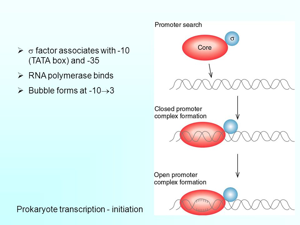 Prokaryote transcription - initiation   factor associates with -10 (TATA box) and -35  RNA polymerase binds  Bubble forms at -10  3