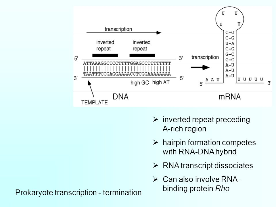 Prokaryote transcription - termination  inverted repeat preceding A-rich region  hairpin formation competes with RNA-DNA hybrid  RNA transcript dissociates  Can also involve RNA- binding protein Rho
