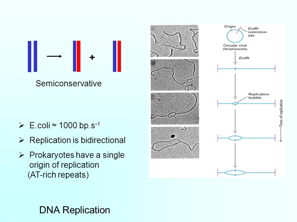 + Semiconservative  E.coli ≈ 1000 bp.s -1  Replication is bidirectional  Prokaryotes have a single origin of replication (AT-rich repeats) DNA Replication
