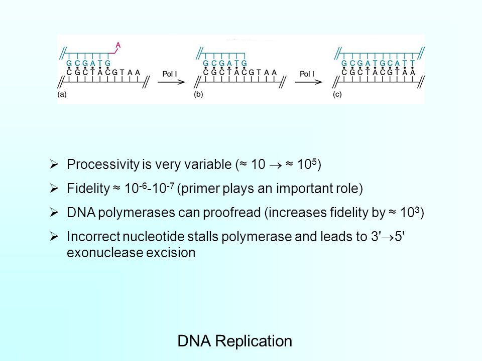  Processivity is very variable (≈ 10  ≈ 10 5 )  Fidelity ≈ 10 -6 -10 -7 (primer plays an important role)  DNA polymerases can proofread (increases fidelity by ≈ 10 3 )  Incorrect nucleotide stalls polymerase and leads to 3  5 exonuclease excision DNA Replication