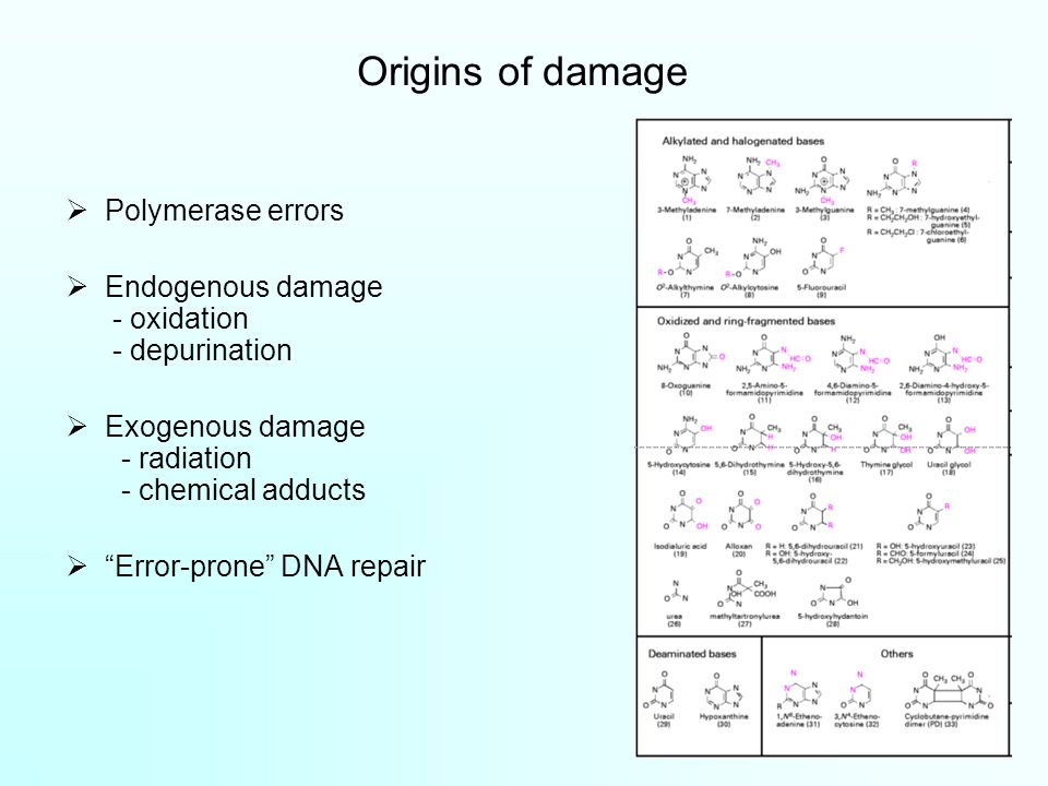 Origins of damage  Polymerase errors  Endogenous damage - oxidation - depurination  Exogenous damage - radiation - chemical adducts  Error-prone DNA repair