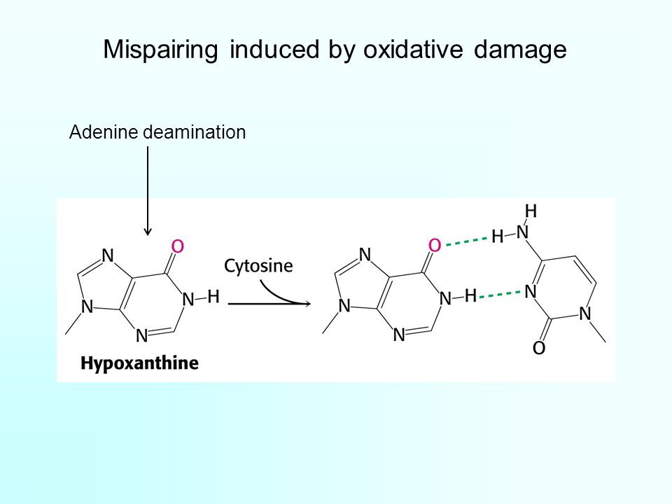 Mispairing induced by oxidative damage Adenine deamination