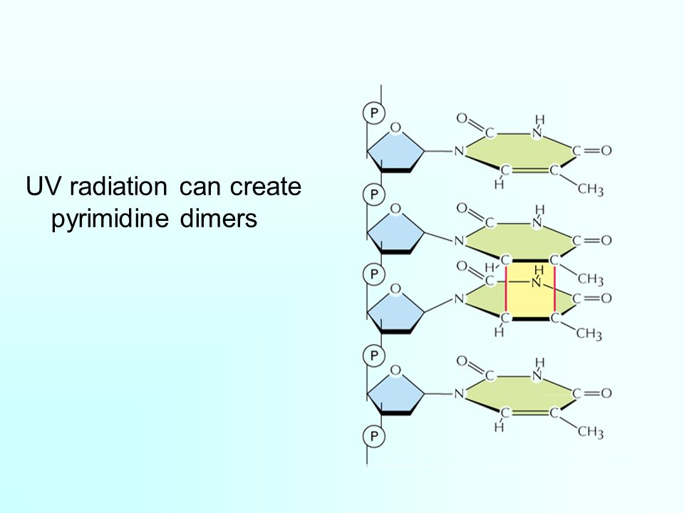 UV radiation can create pyrimidine dimers