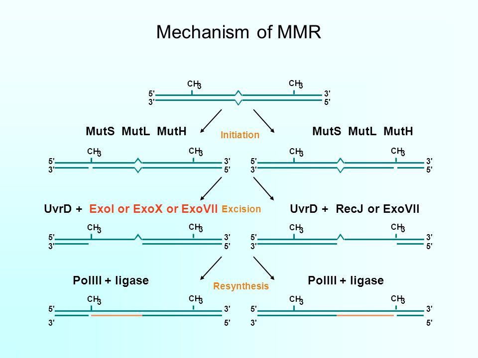 Mechanism of MMR CH 3 3 5 3 5 3 Initiation CH 3 3 5 3 5 3 CH 3 3 5 3 5 3 MutS MutL MutH Excision CH 3 3 5 3 5 3 CH 3 3 5 3 5 3 UvrD + RecJ or ExoVIIUvrD + ExoI or ExoX or ExoVII Resynthesis CH 3 3 5 3 5 3 CH 3 3 5 3 5 3 PolIII + ligase