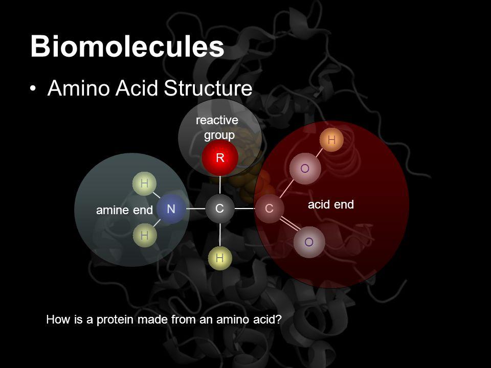 reactive group Biomolecules Amino Acid Structure N H H CC R O O H H How is a protein made from an amino acid? amine end acid end