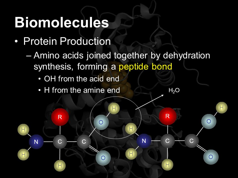 Biomolecules Protein Production –Amino acids joined together by dehydration synthesis, forming a peptide bond OH from the acid end H from the amine en