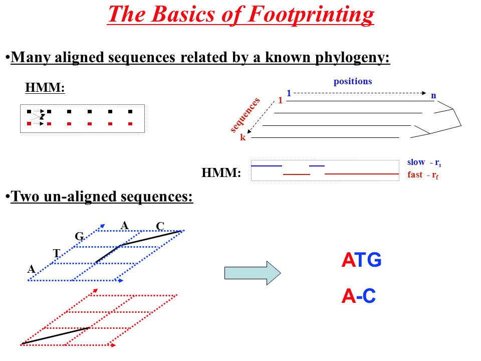 The Basics of Footprinting Many aligned sequences related by a known phylogeny: n 1 positions sequences k 1 slow - r s fast - r f HMM: Two un-aligned