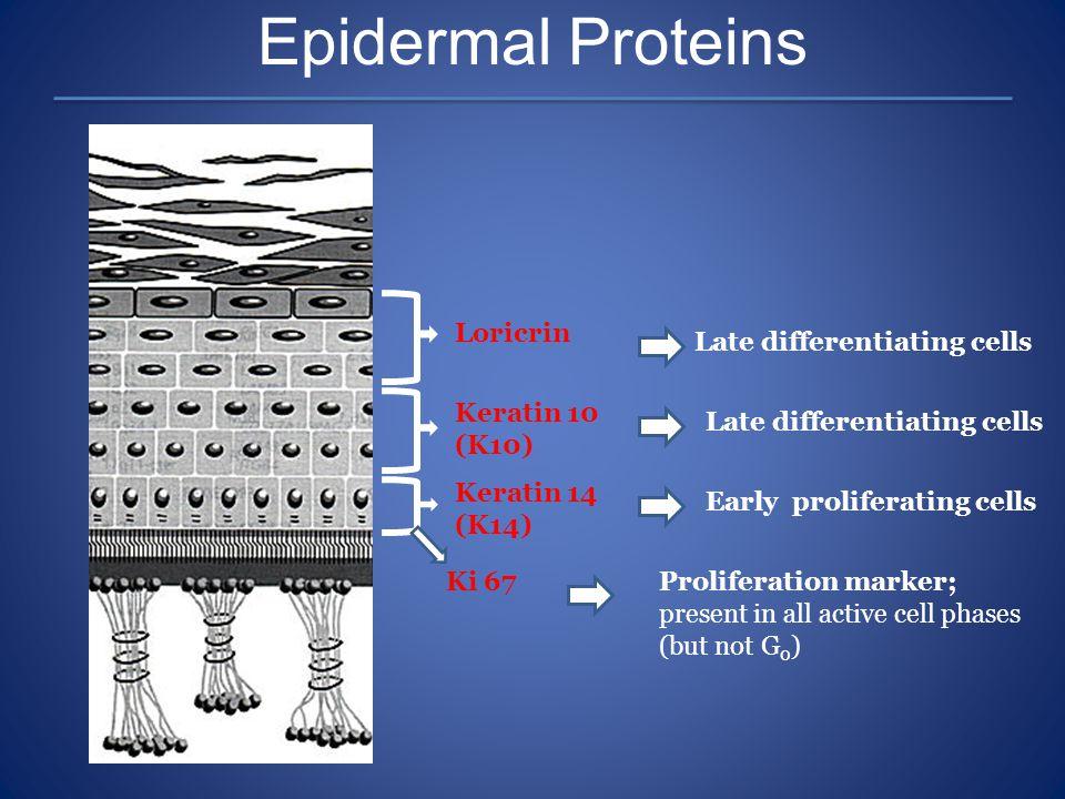 Epidermal Proteins Loricrin Keratin 10 (K10) Keratin 14 (K14) Late differentiating cells Early proliferating cells Ki 67Proliferation marker; present