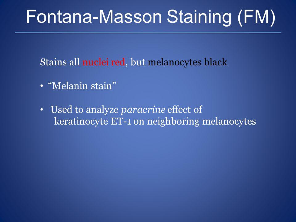 "Fontana-Masson Staining (FM) Stains all nuclei red, but melanocytes black ""Melanin stain"" Used to analyze paracrine effect of keratinocyte ET-1 on nei"