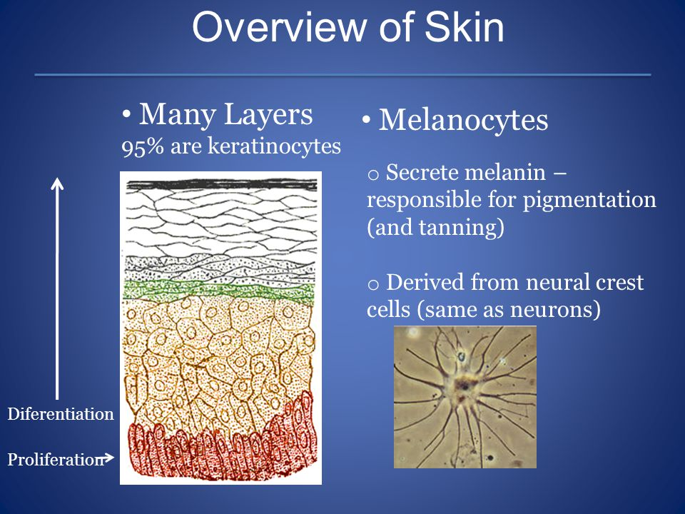 Overview of Skin Many Layers 95% are keratinocytes Melanocytes o Secrete melanin – responsible for pigmentation (and tanning) o Derived from neural cr