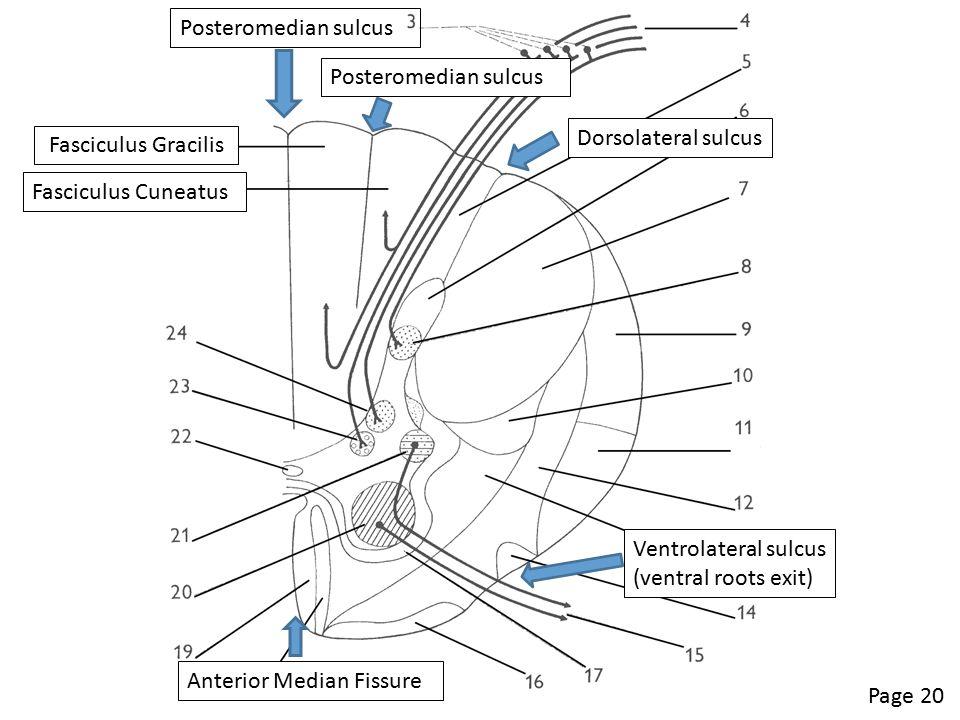 Page 20 Fasciculus Gracilis Fasciculus Cuneatus Posteromedian sulcus Dorsolateral sulcus Posteromedian sulcus Ventrolateral sulcus (ventral roots exit) Anterior Median Fissure
