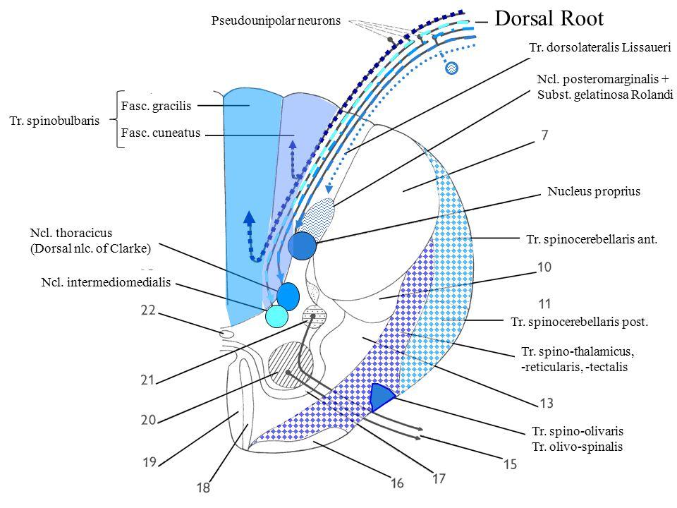 Dorsal Root Pseudounipolar neurons Ncl. posteromarginalis + Subst.